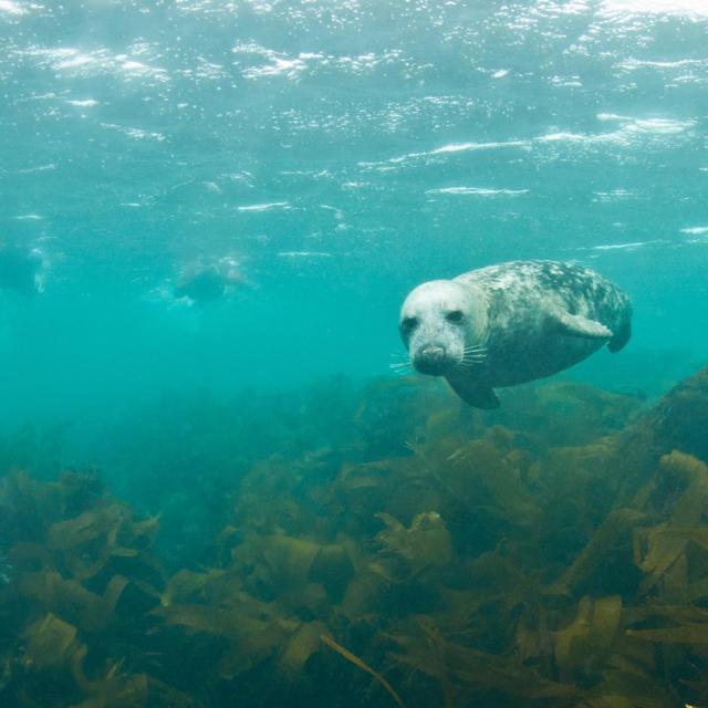 palmez-avec-les-phoques-gris-en-baie-de-morlaix-8.jpg