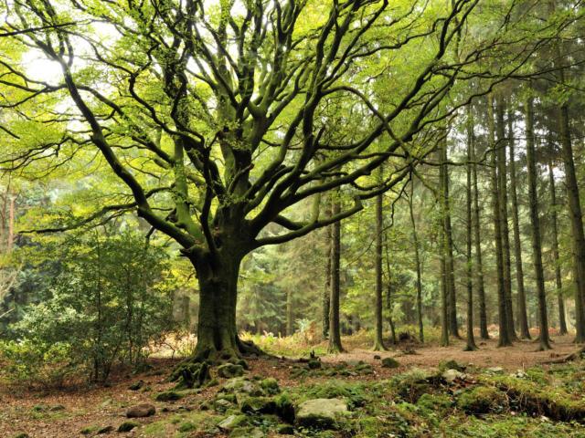 Hêtre de Ponthus - Forêt de Brocéliande
