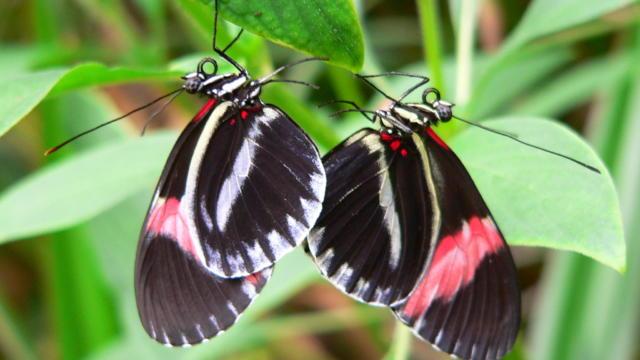 Vannes - jardin aux papillons - Heliconius Melpomene